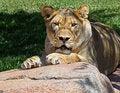Free Lion Royalty Free Stock Photo - 20397945