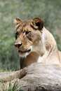Free Lion Stock Photo - 20398060