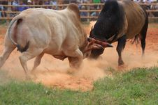 Free Fighting Bull. Royalty Free Stock Images - 20390299
