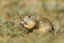 Free Ground Squirrel Stock Photo - 20390390