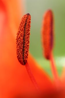 Free Two Stamens Stock Photography - 20390402
