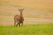 Free Mouflon Stock Image - 20392261