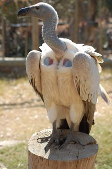 Free African White Backed Vulture Royalty Free Stock Photo - 20392685