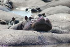 Free Lazy Hippos Royalty Free Stock Image - 20392706