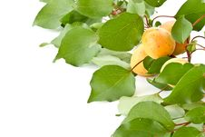 Free Branch With Apricots Royalty Free Stock Photos - 20393078