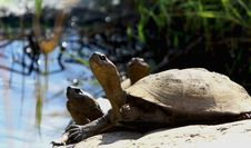 Free Hinged Terrapin Royalty Free Stock Photo - 20393705