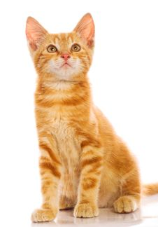 Free Red Little Cat Stock Photography - 20394062
