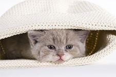 Free British Shorthair Kitten, 6 Weeks, Tired Royalty Free Stock Photos - 20394638