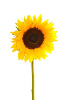 Free Sunflower Royalty Free Stock Photo - 20396805