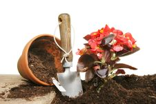 Planting A Begonia Stock Image