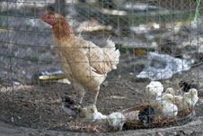 Free Hen And The Chickens Stock Photo - 20398040