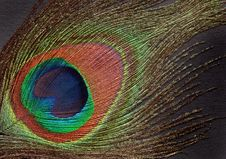 Free Peacock Feather Royalty Free Stock Image - 20399316