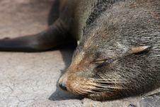 Free Sleeping Fur Seal Stock Photos - 20399643