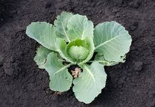 Free Fresh Green Cabbage Stock Photography - 20399822