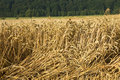 Free Wheat Field Royalty Free Stock Image - 2043616