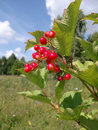 Free Red Berries Of A Guelder-rose Stock Image - 2047341