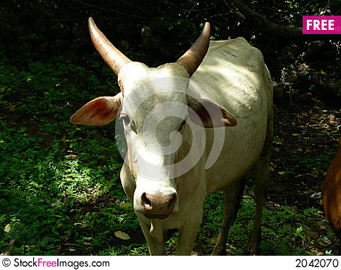 Free Cow Stock Photo - 2042070