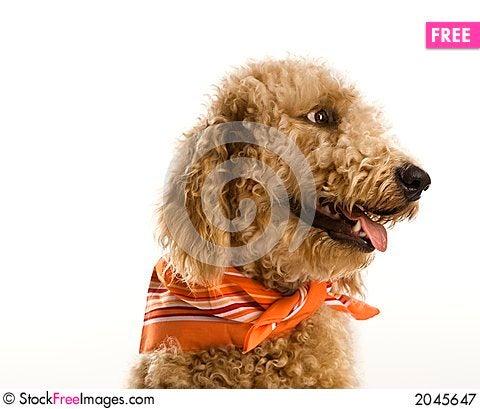 Dog wearing bandana Stock Photo