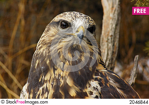 Free Rough-legged Hawk (7) Stock Images - 2046844