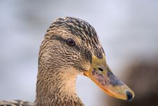 Free Duck Portrait Royalty Free Stock Images - 2041899
