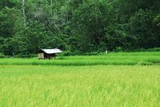 Rice Paddy Royalty Free Stock Photography