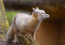 Free Corsac Fox Stock Image - 2043501
