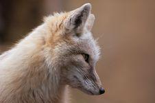 Free Corsac Fox Royalty Free Stock Photos - 2043508
