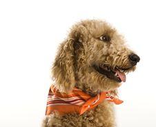 Free Dog Wearing Bandana Royalty Free Stock Photography - 2045647