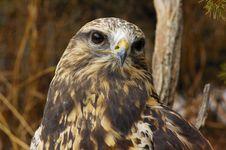 Free Rough-legged Hawk (7) Stock Images - 2046844
