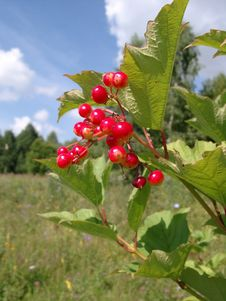Red Berries Of A Guelder-rose Stock Image