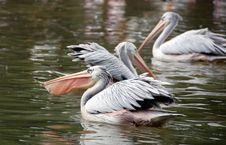 Free Pelican Feeding Stock Photo - 2048290