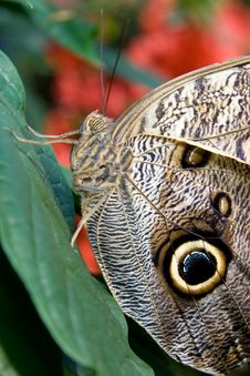 Free Owl Butterfly Royalty Free Stock Image - 2049156