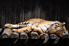 Free Sleeping Tiger Stock Images - 20400764