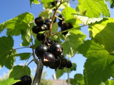 Free Black Currant On Branch Royalty Free Stock Photography - 20400787