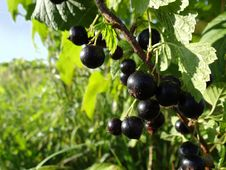 Free Black Currant On Branch Royalty Free Stock Images - 20400839