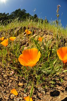 Free California Poppies Stock Photography - 20402162