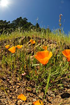 Free California Poppies Royalty Free Stock Images - 20402329