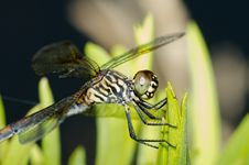 Free Dragonfly Royalty Free Stock Images - 20403159
