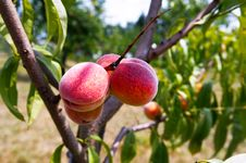 Peaches On Tree Branches Stock Image