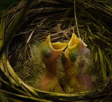 Free Robin Nest Stock Images - 20403354