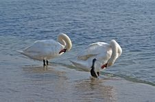 Free Swans Royalty Free Stock Photography - 20404867