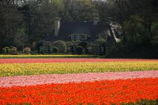 Free An Estate In Tulips  Fields Stock Photos - 20405203