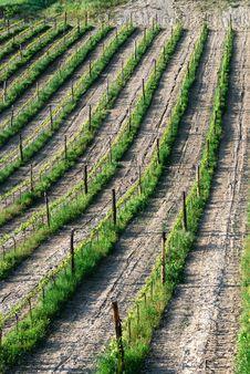 Free Vineyard Royalty Free Stock Image - 20405716