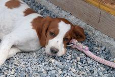 Free Puppy Breton Royalty Free Stock Image - 20405746