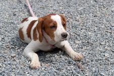 Free Breton Puppy Royalty Free Stock Image - 20405766