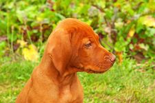 Eight Weeks Old Puppy Hungarian Vizsla Portrait Royalty Free Stock Images
