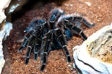 Free Tarantula Stock Photography - 20407002