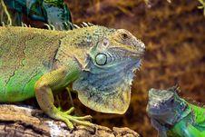 Free Iguana Royalty Free Stock Images - 20407109