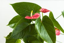 Free Anthurium On The White Background Stock Photos - 20407563