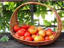 Free Fresh Red Tomatoes Stock Photo - 20408820